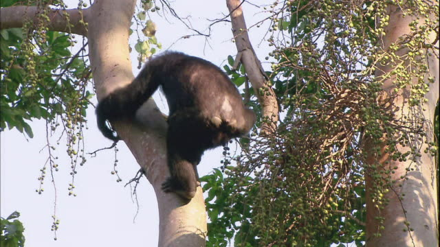View of a chimpanzee climbing down from a tree  in Manyara national park (famous spot for study about chimpanzees) in Tanzania