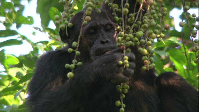 view of a chimpanzee eating a fruit on a tree in manyara national park (famous spot for study about chimpanzees) in tanzania - fruit stock videos & royalty-free footage