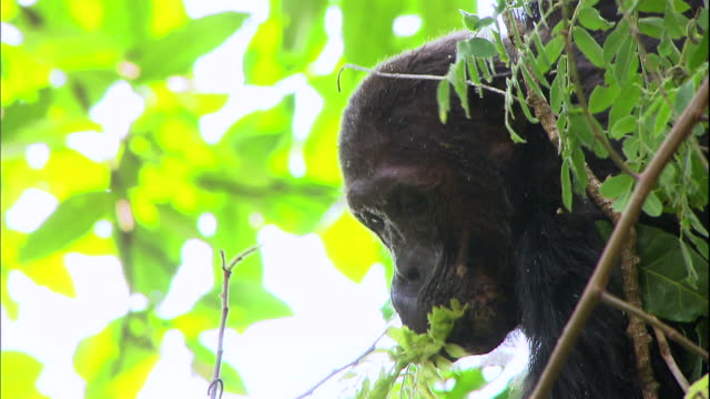 View of a chimpanzee eating a leaf in Manyara national park (famous spot for study about chimpanzees) in Tanzania