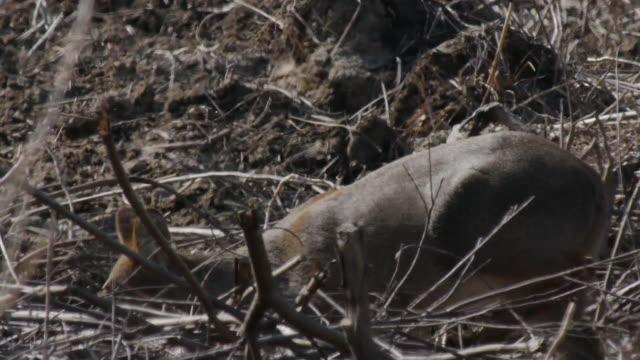 vidéos et rushes de view of a chinese water deer - famille du cerf