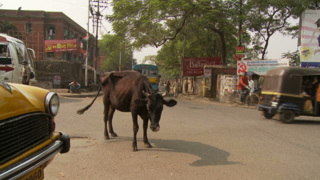 view of a cow standing in the street kolkata, india - westbengalen stock-videos und b-roll-filmmaterial