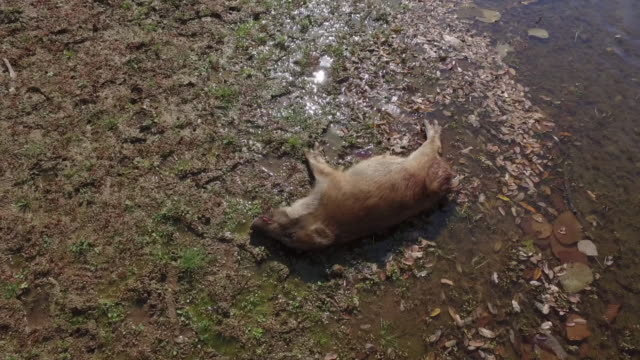 View of a dead wild baby pig on the ground in DMZ (Demilitarized zone, A strip of land running across the Korean Peninsula), South korea