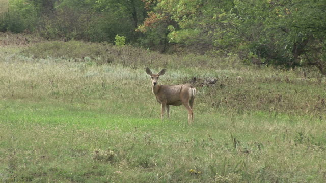 stockvideo's en b-roll-footage met view of a deer in custer state park south dakota united states - custer state park