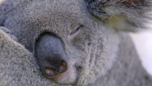 view of a drowsing koala on the tree in eastern australia - serenità video stock e b–roll