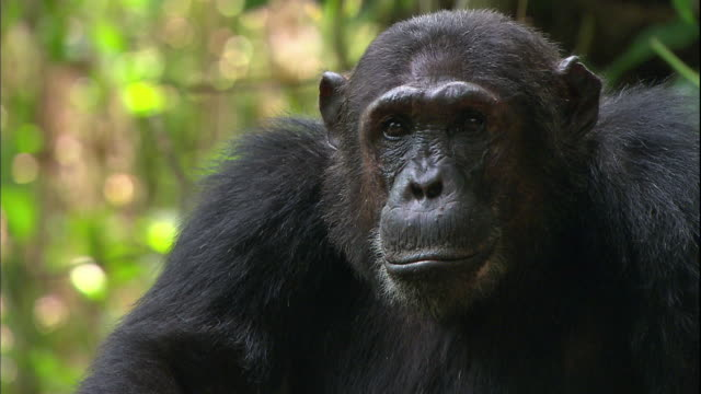 view of a face of a male chimpanzee in manyara national park (famous spot for study about chimpanzees) in tanzania - männliches tier stock-videos und b-roll-filmmaterial