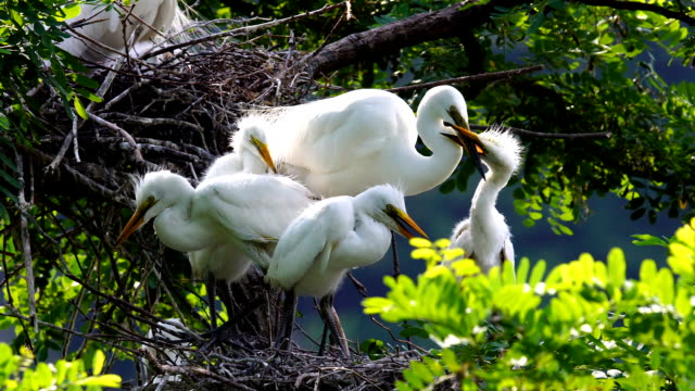 view of a family of egretta alba modesta playing each other - 雛鳥点の映像素材/bロール