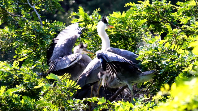 View of a family of Herons