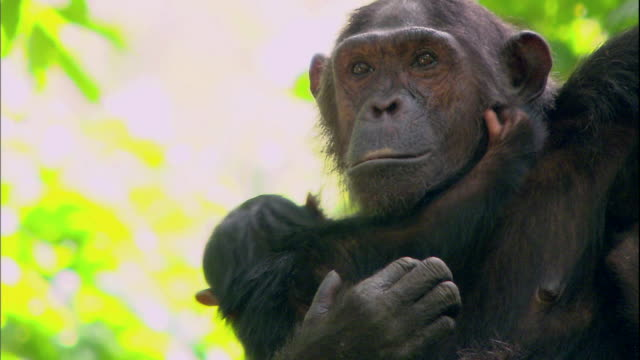 view of a female chimpanzee carrying her baby chimpanzee in manyara national park (famous spot for study about chimpanzees) in tanzania - chimpanzee stock videos & royalty-free footage