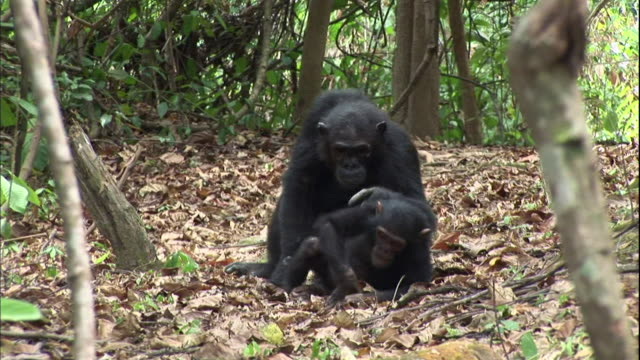 view of a female chimpanzee carrying her baby chimpanzee in manyara national park (famous spot for study about chimpanzees) in tanzania - sich pflegen tierisches verhalten stock-videos und b-roll-filmmaterial