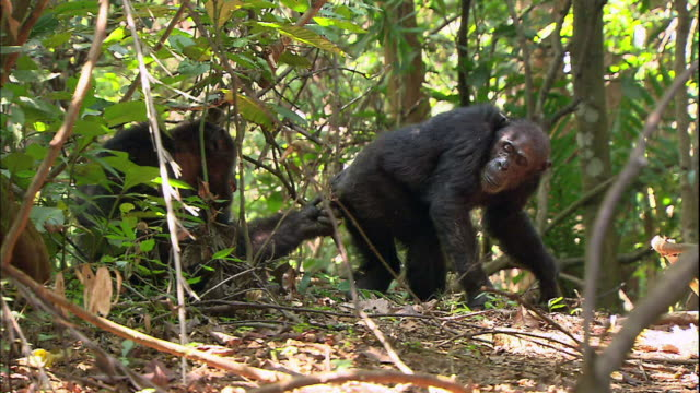 View of a female chimpanzee coming to a male chimpanzee in Manyara national park (famous spot for study about chimpanzees) in Tanzania