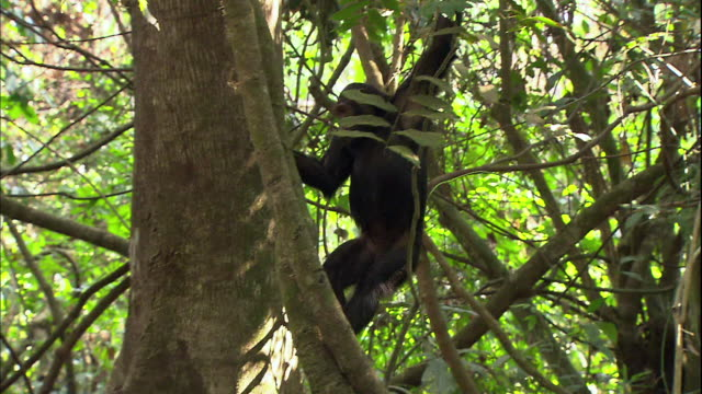 view of a female chimpanzee manyara national park (famous spot for study about chimpanzees) in tanzania - chimpanzee stock videos & royalty-free footage