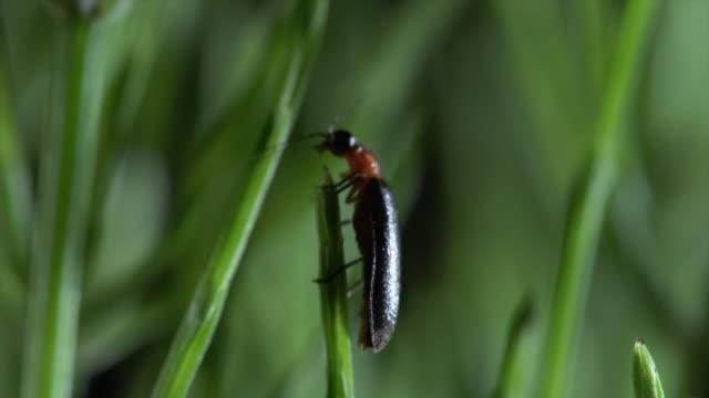 vídeos de stock e filmes b-roll de view of a female luciola lateralis (a type of firefly) at unmunsan mountain - pirilampo escaravelho