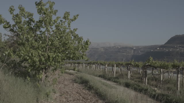 view of a field planted with mulberry trees and vines against the backdrop of the chouf mountains. - 落葉樹点の映像素材/bロール
