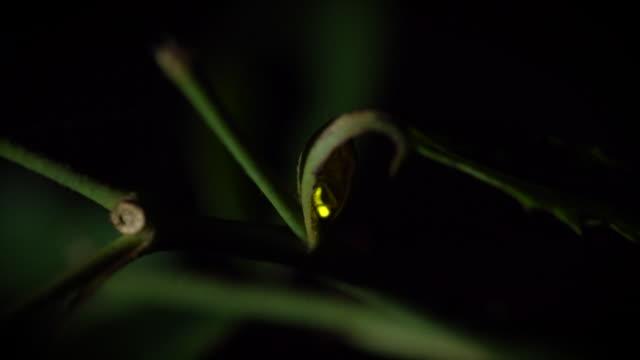 vídeos de stock e filmes b-roll de view of a firefly glowing on a leaf at night - pirilampo escaravelho