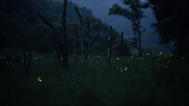 view of a firefly in gotjawal forest - グローワーム点の映像素材/bロール