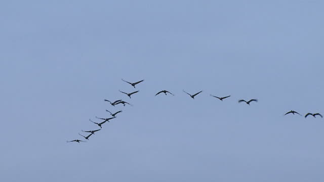 view of a flock of cranes flying in v-formation - formation flying stock videos & royalty-free footage