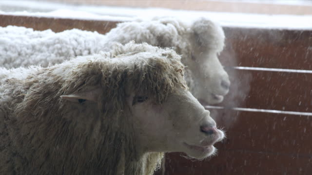 view of a flock of sheep wintering at a cage of daegwallyeong yangtte pasture - holz stock-videos und b-roll-filmmaterial