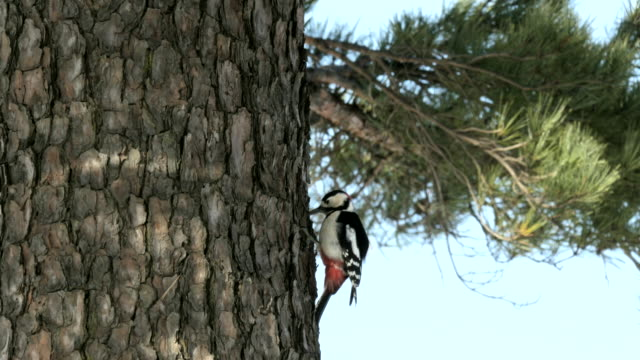 stockvideo's en b-roll-footage met view of a great spotted woodpecker on a pine tree - naaldboom
