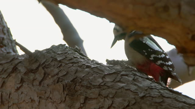 view of a great spotted woodpecker pecking at pine cone on the tree - woodpecker stock videos & royalty-free footage
