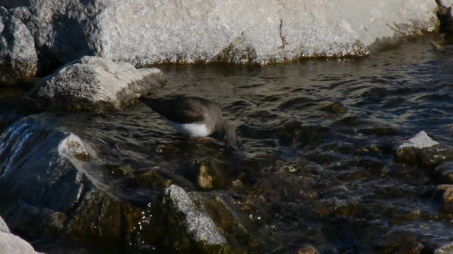 vídeos de stock, filmes e b-roll de view of a green sandpiper searching prey in the water of the valley - pilrito