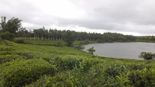 View of a green tea plantation in a tropical environment
