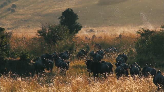 View of a herd of gnus migrating at Masai Mara National Reserve