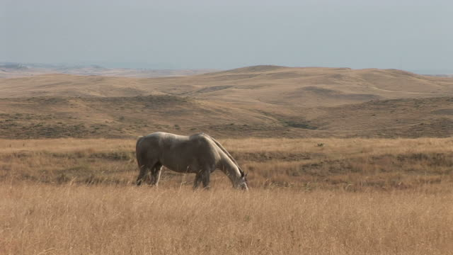 view of a horse grazing in the grass field in montana united states - alm stock-videos und b-roll-filmmaterial