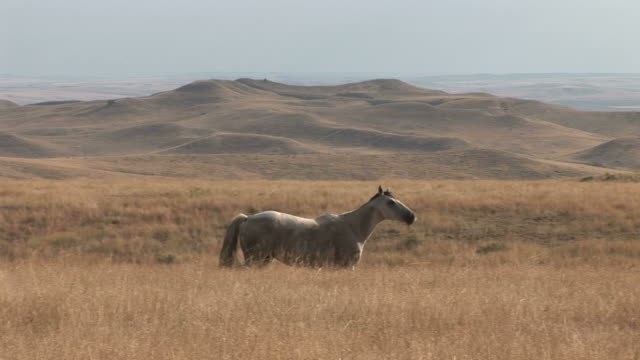 view of a horse grazing in the grass field of montana united states - alm stock-videos und b-roll-filmmaterial