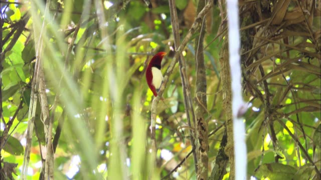 stockvideo's en b-roll-footage met view of a king bird-of-paradise climbing up a tree in papua new guinea - dierlijk gedrag