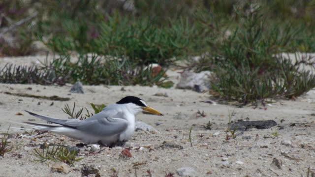 View of a Little Tern (Summer bird) brooding an egg