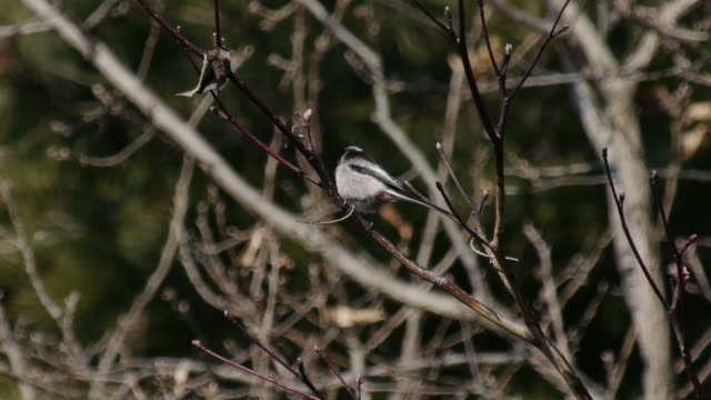view of a long-tailed tit on the branch - long stock videos and b-roll footage
