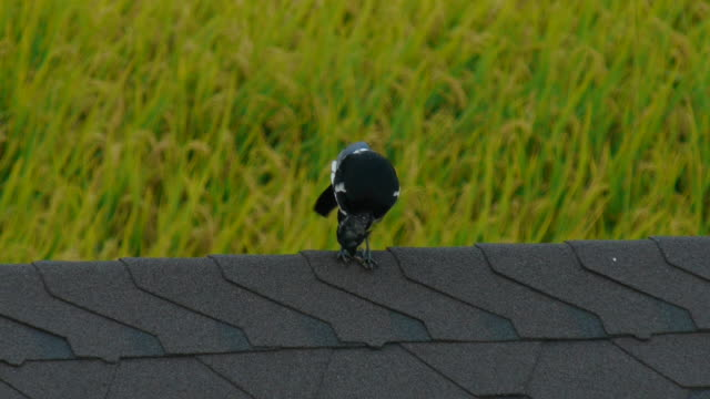 view of a magpie on the roof - elster stock-videos und b-roll-filmmaterial