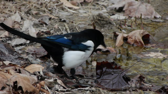 view of a magpie searching prey on the fallen leaves - elster stock-videos und b-roll-filmmaterial