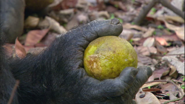 View of a male chimpanzee eating a lemon in Manyara national park (famous spot for study about chimpanzees) in Tanzania