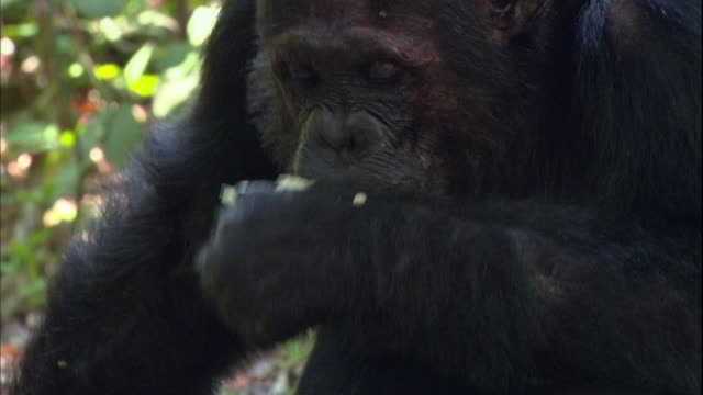 view of a male chimpanzee eating a lemon in manyara national park (famous spot for study about chimpanzees) in tanzania - lemon fruit stock videos & royalty-free footage