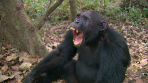 vidéos et rushes de view of a male chimpanzee yawning in manyara national park (famous spot for study about chimpanzees) in tanzania - chimpanzé