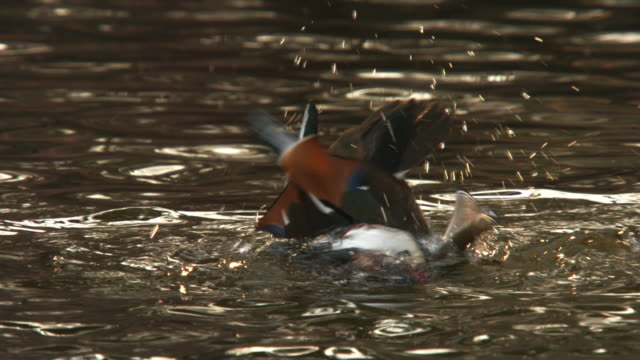 view of a male mandarin duck bathes in lake in changgyunggung (unesco world heritage) - wildlife stock videos & royalty-free footage