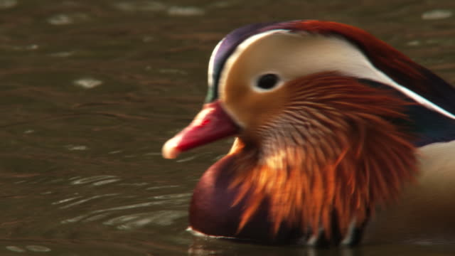 View of a male mandarin duck floating on the water in Changgyunggung (UNESCO World Heritage)