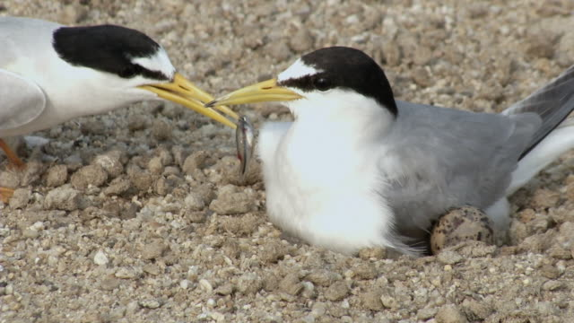 View of a male tern feeding the baby bird near the river, South Korea