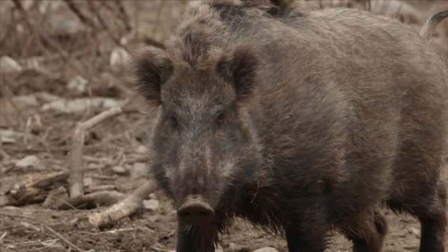 View of a male wild pig on the ground in DMZ (Demilitarized zone, A strip of land running across the Korean Peninsula), South korea