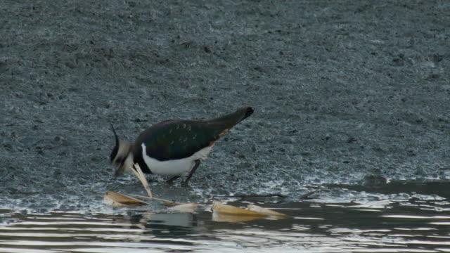 stockvideo's en b-roll-footage met view of a northern lapwing at the riverside - neerstrijken