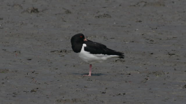 View of a oystercatcher on the mud flat