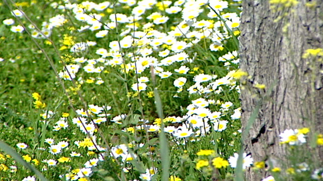 view of a patch of roadside daisies blowing in the breeze of passing cars, with a tree trunk in the foreground. - petal stock videos & royalty-free footage
