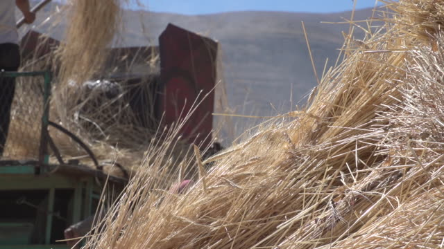 view of a pitchfork pushing ripened wheat into a vintage belt-driven threshing machine, in rural northern mount lebanon. - pitchfork stock videos & royalty-free footage