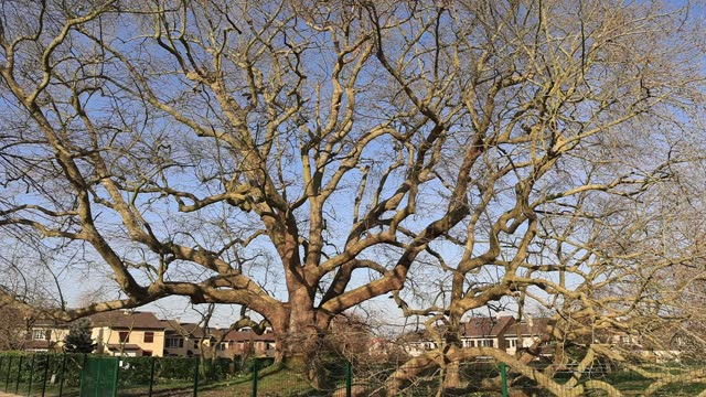 """view of a plane tree named """"arbre de diane"""" which is classified as """"arbre remarquable de france"""" on march 23 in les clayes sous bois, france. this... - durability stock videos & royalty-free footage"""
