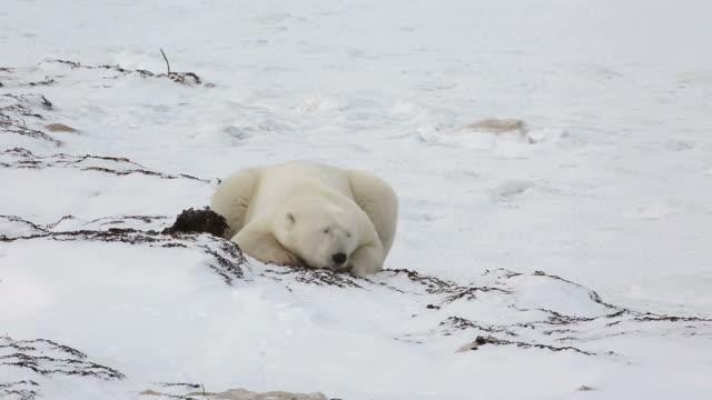 stockvideo's en b-roll-footage met view of a polar bear in churchill, canada - bukken