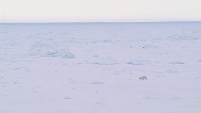 vídeos y material grabado en eventos de stock de view of a polar bear walking on the glacial plain in the north pole - clima polar