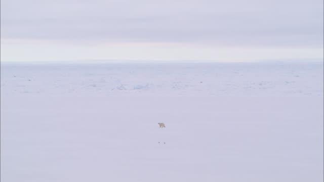 view of a polar bear walking on the glacial plain in the north pole - 北極点の映像素材/bロール
