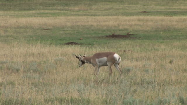 view of a pronghorn antelope at custer state park in south dakota united states - カスター州立公園点の映像素材/bロール