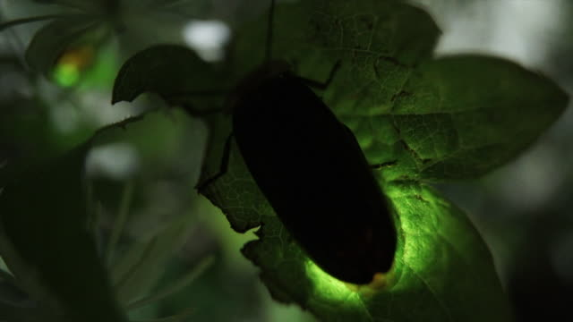 view of a pyrocoelia rufa (kind of firefly) at geumgang, mujugun - グローワーム点の映像素材/bロール